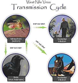 West Nile Transmission Cycle